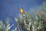 Yellow Warbler returning to its nest with food for its chicks.