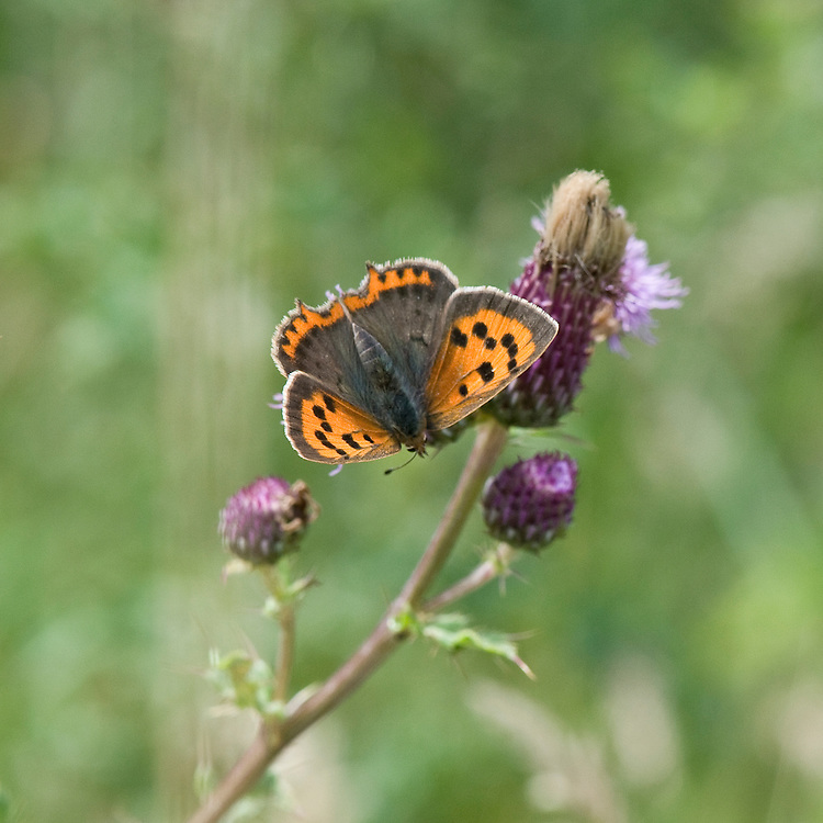 Small copper butterfly (Lycaena phlaeas), south-west London, mid July.
