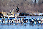 Sandhill Crane being chased by immature bald eagle Platte River, Nebraska