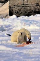 polar bear, Ursus maritimus, mother and cubs, feeding on seal on ice, Northern Baffin Island, Nunavut, Canada, Arctic Ocean