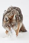 Coyote photos
