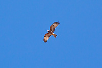 Square-Tailed Kite, Undara, Queensland, Australia