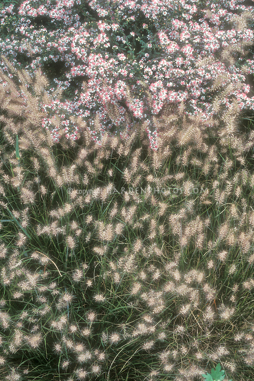 Ornamental grass Pennisetum alopecuroides 'Little Bunny' dwarf plant with Aster lateriflorus 'Horizontalis', both in flower