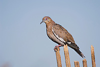 White-winged Dove, Zenaida asiatica, young on dead saguaro cactus,Tucson, Arizona, USA, September 2006