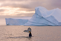 humpback whale, Megaptera novaeangliae, and icebergs, feeding in the waters off the western Antarctic Peninsula, Antarctica, Southern Ocean