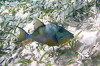 0705-1101  Queen Triggerfish, First Dorsal Spine Slightly Raised, Caribbean Ocean, Balistes vetula  © David Kuhn/Dwight Kuhn Photography