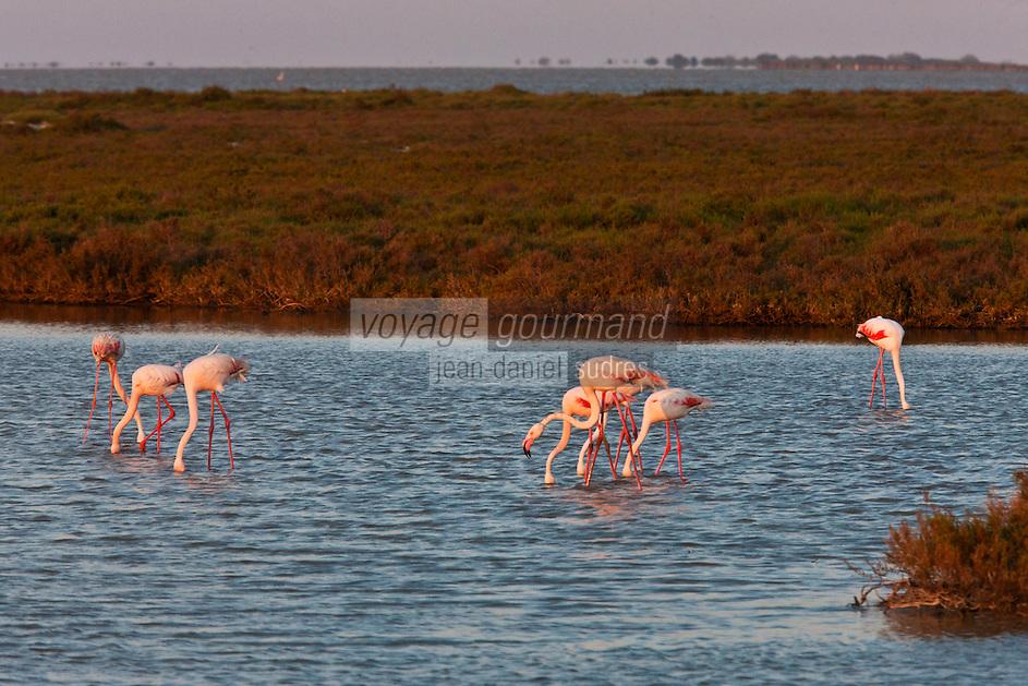 France/13/Bouches du Rhone/Camargue/Parc Naturel Régionnal de Camargue/Saintes Maries de la Mer: Flamants roses