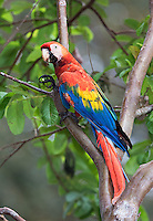 One of Costa Rica's most iconic bird species is the Scarlet macaw.  Because of declining food sources (namely almond trees), scarlet macaws are threatened.