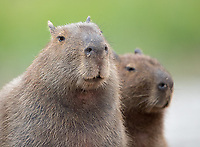 The capybara is the world's largest rodent species. We would see them hanging out on the banks of the waterways in the Pantanal.