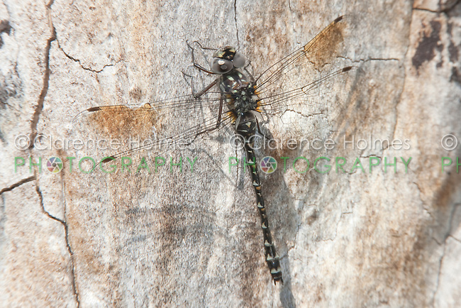 Harlequin Darner (Gomphaeschna furcillata) - Female perching on the trunk of a maple tree, Ward Pound Ridge Reservation, Cross River, Westchester County, New York