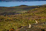 Mountain Lion (Puma concolor) six month old kittens in pre-Andean shrubland, Torres del Paine National Park, Patagonia, Chile