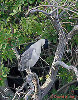 0116-08ss  Resting with Head Tucked in, Black-crowned Night Heron - Nycticorax nycticorax © David Kuhn/Dwight Kuhn Photography