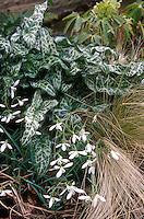 Arum italicum 'White Winter' with Galanthus
