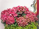 Austria, Tyrol, holiday region Kaiserwinkl, Koessen: flower decoration Hortensia (Hydrangea) | Oesterreich, Tirol, Ferienregion Kaiserwinkl, Koessen: Blumenschmuck, Hortensien (Hydrangea)