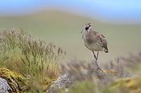 Whimbrel (Numenius phaeopus). Iceland. July.