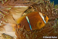 0320-1118  Clark's anemonefish (Yellowtail clownfish), Amphiprion clarkii, with Bulb-tipped Anemone, Entacmaea quadricolor  © David Kuhn/Dwight Kuhn Photography.