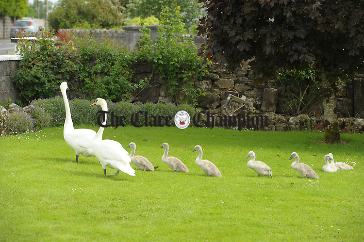 The swan couple with their seven signets exploring the Kelleher family's front garden at Clareabbey, Clarecastle after arriving there on Sunday afternoon. Photograph by John Kelly.