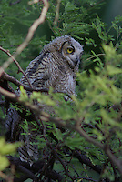 Young Great Horned Owl seen in a tree near the nest near Tucson Arizona