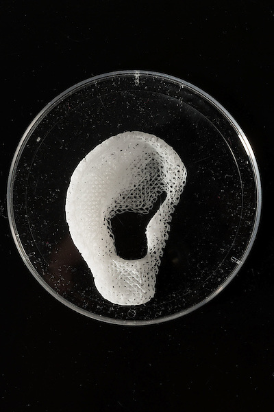 February 11, 2015. Winston Salem, North Carolina.<br />  Using 3D printers, the Wake Forest Institute for Regenerative Medicine creates scaffolds of body parts, such as this right ear. In the future, living cells will be introduced onto the scaffolds, allowing them to become transplantable body parts.<br />  Anthony Atala, M.D., is the Director of the Wake Forest Institute for Regenerative Medicine. Dr. Atala is a pioneer in the use of 3D printing in the area of regenerative medicine, focusing on growing new human cells, tissues and organs.