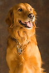 Portrait of a two year old Golden Retriever