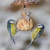 Blaumeise, selbstgemachtes Vogelfutter, am Nuss-Säckchen, Nusssäckchen, Nuß-Säckchen, Nussäckchen, Erdnüsse, Erdnuss-Säckchen, Erdnusssack, Winterfütterung, Blau-Meise, Meise, Meisen, Cyanistes caeruleus, Parus caeruleus, blue tit, bird's feeding, La Mésange bleue