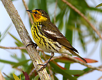 Adult male Cape May warbler. This bird a very early migrant or overwintered in Galveston, TX.