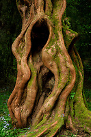 Dawn Redwood tree trunk. Trewidden Gardens, Cornwall, England