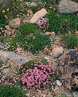 Moss Campion (Silene acaulis) in bloom on Trail Ridge; Rocky Mountain National Park, CO