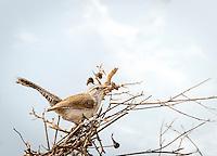 Bewick's Wren gathering nesting material