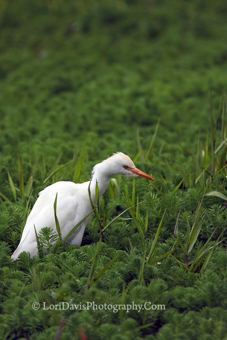 Cattle Egret In Greens