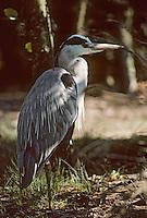 Europe/France/Aquitaine/33/Gironde/Bassin d'Arcachon/Parc Ornithologique du Teich: Héron cendré