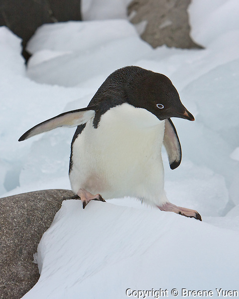 An Adelie Penguin negotiates obstacles on the beach to get back home, Ronge Island, Antarctic Peninsula, November 2007