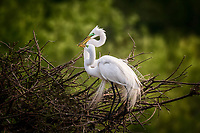 A mating pair of great egrets exchange a kiss while building their nest at Smith Oaks Rookery in High Island, Texas