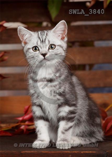 Carl, ANIMALS, photos(SWLA3840,#A#) Katzen, gatos