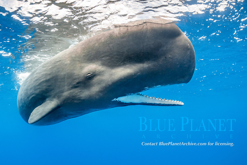 Sperm whale, Physeter macrocephalus, with open mouth, showing the teeth The sperm whale is the largest of the toothed whales Sperm whales are known to dive as deep as 1,000 meters in search of squid to eat Image has been shot in Dominica, Caribbean Sea, Atlantic Ocean Photo taken under permit #RP 16-02/32 FIS-5