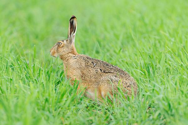 Brown Hare (Lepus europaeus), adult in meadow, National Park Lake Neusiedl, Burgenland, Austria, Europe