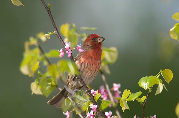 Male House Finch (Carpodacus mexicanus). Great Lakes Region.