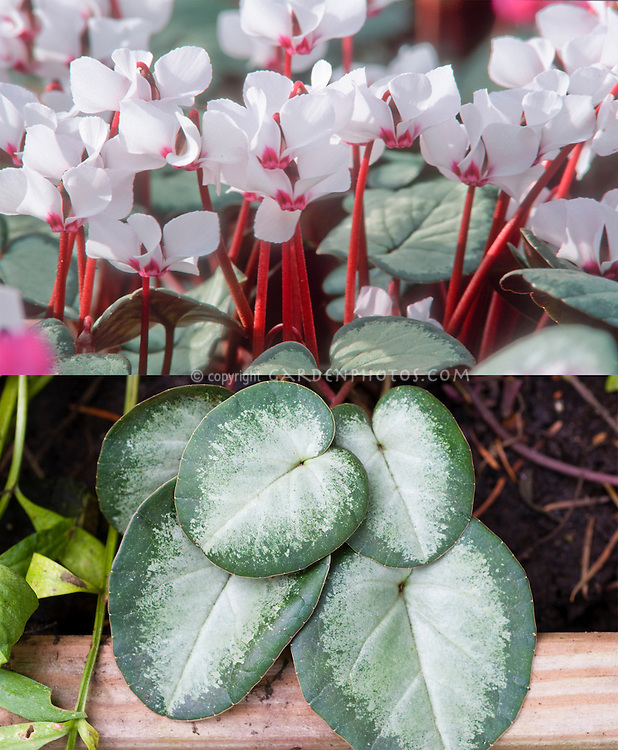 Cyclamen coum at two different times, in flower and just foliage leaves