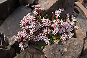 English Stonecrop (Sedum anglicum) Isle of Mull, Scotland, UK.