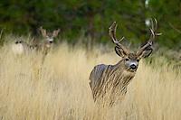 Mule Deer buck (Odocoileus hemionus) with doe in background.  Western U.S., Fall.
