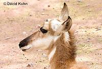 0606-1109  Pronghorn (Prong Buck) in Sonoran Desert, Antilocapra americana  © David Kuhn/Dwight Kuhn Photography