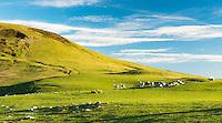 Farmland with sheep on Otago Peninsula, Coastal Otago, East Coast, South Island, New Zealand