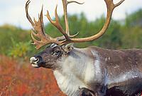 Bull Caribou on tundra, Denali National Park, Alaska