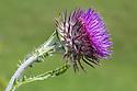 Musk Thistle {Carduus nutans} Devon, UK. June.