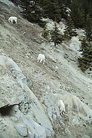 Mountain Goats use a natural mineral lick on a hillside in Kootenay National Park, B.C., May.