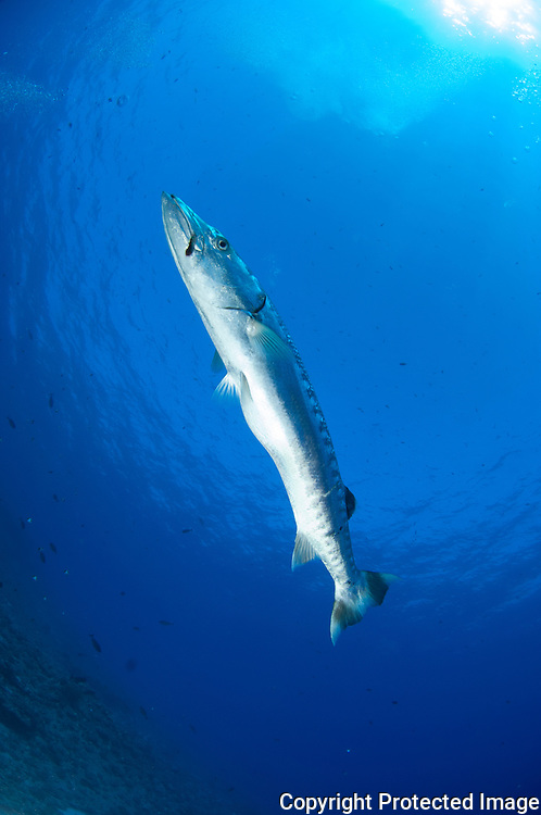 Images from a Barracuda around the reef at Molokini Maui Hawaii. A shot from below you can see a hook on the mouth.