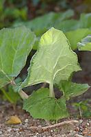 Gewöhnliche Pestwurz, Pest-Wurz, Blätter erscheinen nach der Blüte, Petasites hybridus, Butterbur, Umbrella Plant