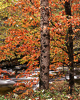 Dogwood tree in fall color along the Middle Prong of the Little River; Great Smoky Mountains National Park, TN