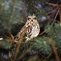 Sumpfohreule, Sumpf-Ohreule, Asio flammeus, short-eared owl, Short Eared Owl, Le Hibou des marais, Hibou brachyote