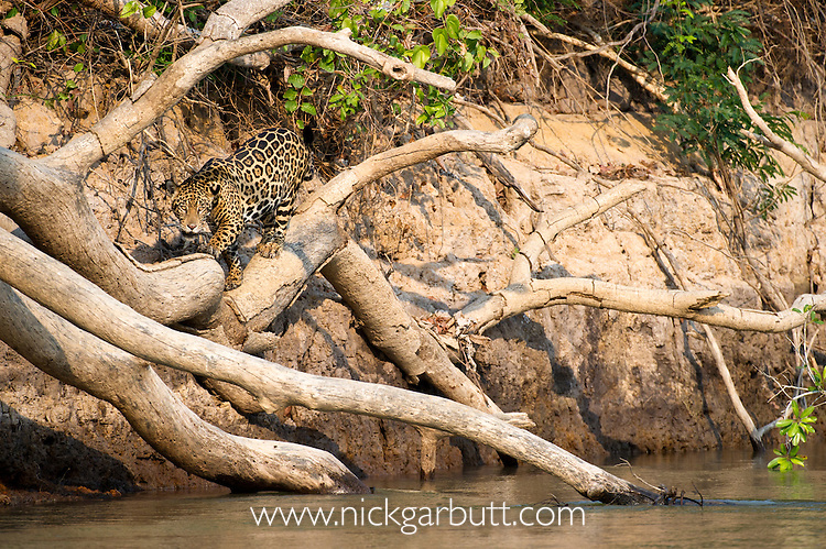 Wild female Jaguar (Panthera onca palustris) climbing over fallen tree trunk on the banks of the Piquiri River (a tributary of Cuiaba River). Northern Pantanal, Brazil.